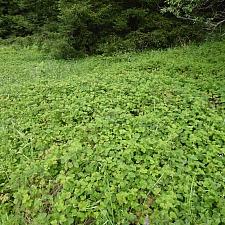 Rubus ursinus  California blackberry