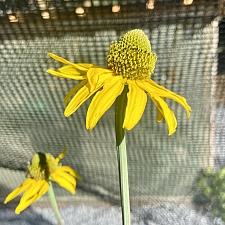 Rudbeckia glaucescens  waxy coneflower