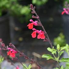 Salvia greggii 'Puebla Cherry'