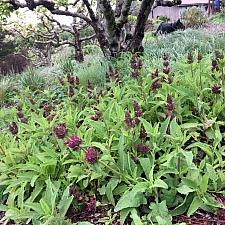 Salvia spathacea  hummingbird sage