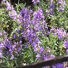 Salvia officinalis 'Robert Grimm' dwarf culinary sage