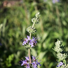 Salvia  'Bee's Bliss' sage