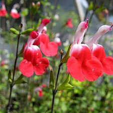 Salvia  'Hot Lips' sage