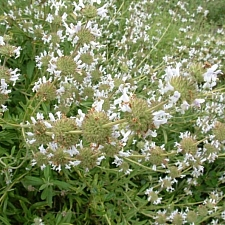 Salvia mellifera  black sage