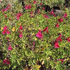 Salvia microphylla 'San Carlos Festival' San Carlos festival sage