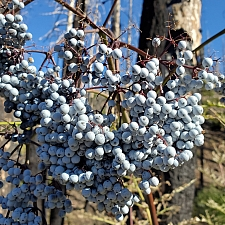 Sambucus mexicana (nigra ssp. caerulea)  blue elderberry, Mexican elderberry