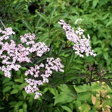 Sambucus nigra 'Black Beauty' elderberry
