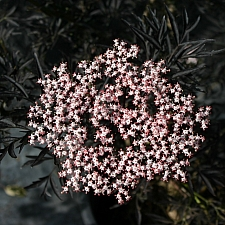 Sambucus nigra 'Black Lace' black cut-leaf elderberry
