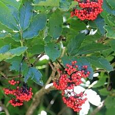 Sambucus racemosa  red elderberry