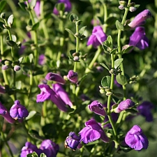 Scutellaria  'Violet Cloud' skullcap