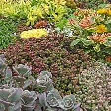 Sedum divergens  Pacific stonecrop