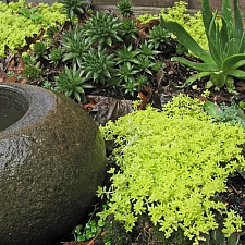 Sedum  'Gold Thread' sedum