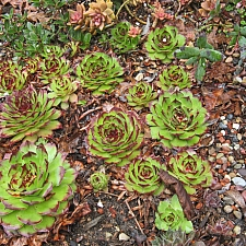 Sempervivum  cultivars hen and chicks, houseleeks