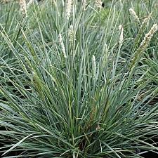 Sesleria  'Campo Azul'  moor grass