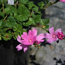 Sidalcea calycosa ssp. rhizomata  Point Reyes checkerbloom