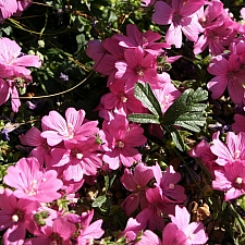 Sidalcea malviflora 'Palustre' checkerbloom