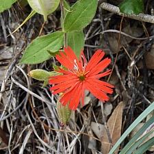 Silene californica  Indian pink