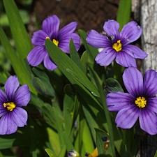 Sisyrinchium bellum 'Rocky Point' dwarf blue-eyed grass