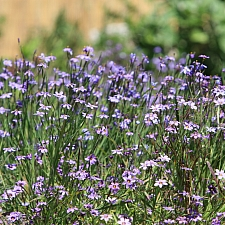 Sisyrinchium bellum  blue-eyed grass