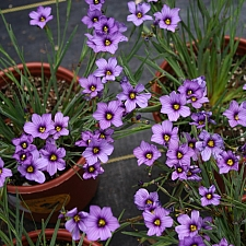 Sisyrinchium bellum 'Arroyo de la Cruz'  blue-eyed grass