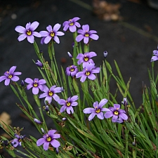 Sisyrinchium bellum - dwarf  blue-eyed grass
