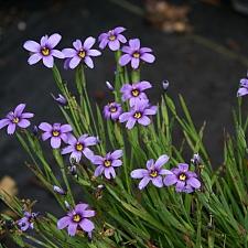 Sisyrinchium sp. - dwarf  blue-eyed grass
