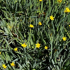 Sisyrinchium californicum  yellow-eyed grass