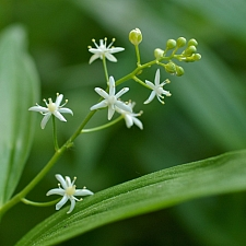 Maianthemum (Smilacina) stellatum  slim false Solomon's seal