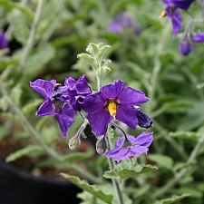 Solanum xanti 'Mountain Pride' purple nightshade