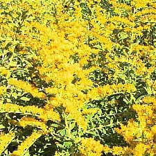 Solidago rugosa 'Fireworks' rough goldenrod