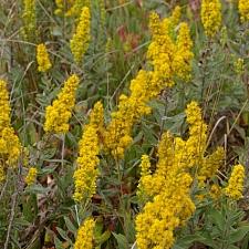 Solidago californica  western goldenrod