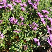 Monardella villosa 'Soulajule' coyote mint