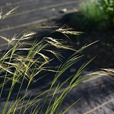 Stipa (Nassella) cernua  nodding needlegrass