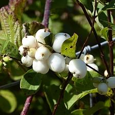 Symphoricarpos albus var. laevigatus  snowberry