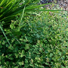 Symphoricarpos albus var. laevigatus 'San Bruno Mountain' snowberry