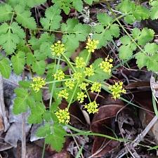Tauschia kelloggii  umbrellawort