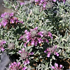 Teucrium cossonii (majoricum)  Majorcan teucrium