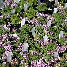 Thymus  'Pink Chintz' pink chintz thyme