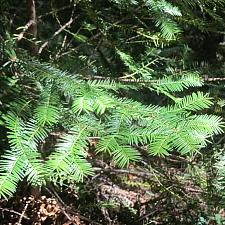 Torreya californica  California nutmeg