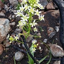 Toxicoscordian fremontii  Fremont's star lily