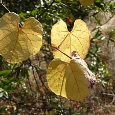 Vitis californica  California grape