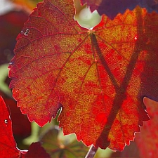 Vitis californica 'Russian River' California grape