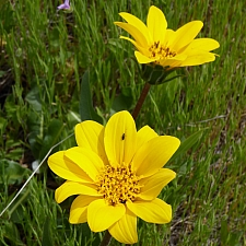 Wyethia angustifolia  narrow leaved mule's ears